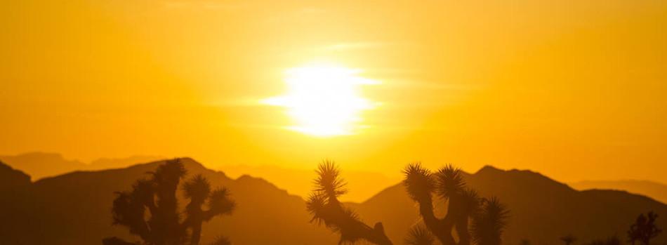 gold sunset joshua trees